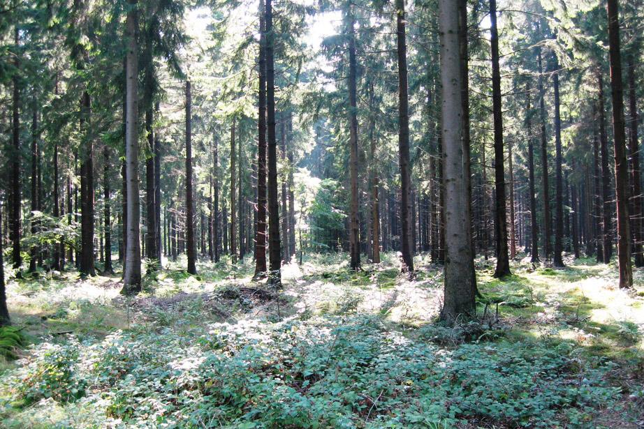 Die wissenschaftlich gesicherte Behandlungsmethode Katathymes Bilderleben - der Wald